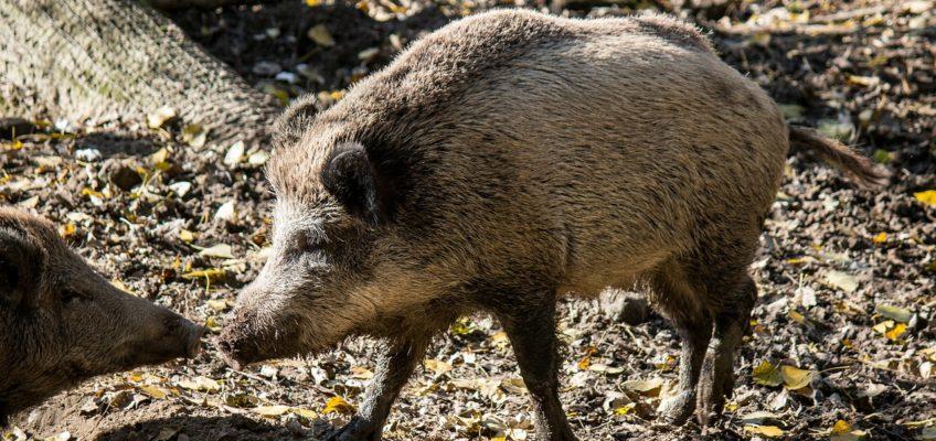 Verhalten bei Wildschweinkontakt